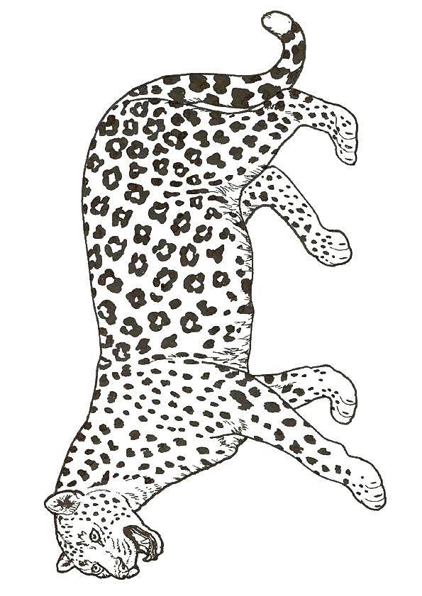 Раскраска леопард Скачать Дисней, принцесса.  Распечатать ,Диснеевские раскраски,