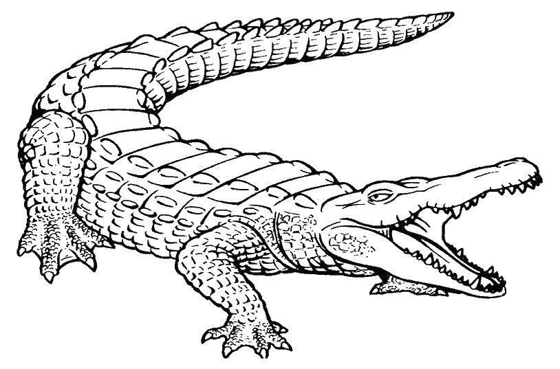 Раскраска Крокодил раскрыл пасть Скачать животные, крокодил, пасть.  Распечатать ,Животные,
