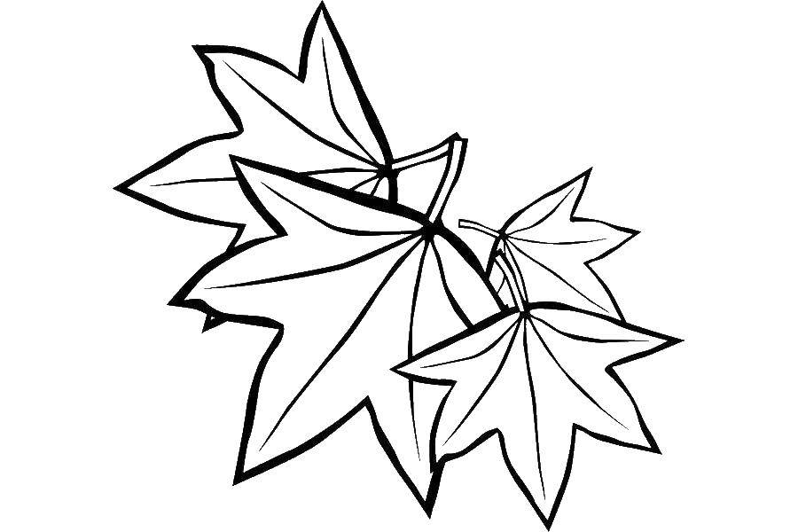 Раскраска Кленовые листья Скачать Листья, дерево.  Распечатать ,листья,