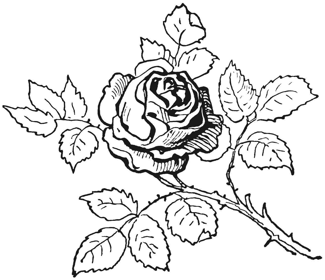 Раскраска Растительный мир Скачать ,цветы, растения, цветок, роза,.  Распечатать