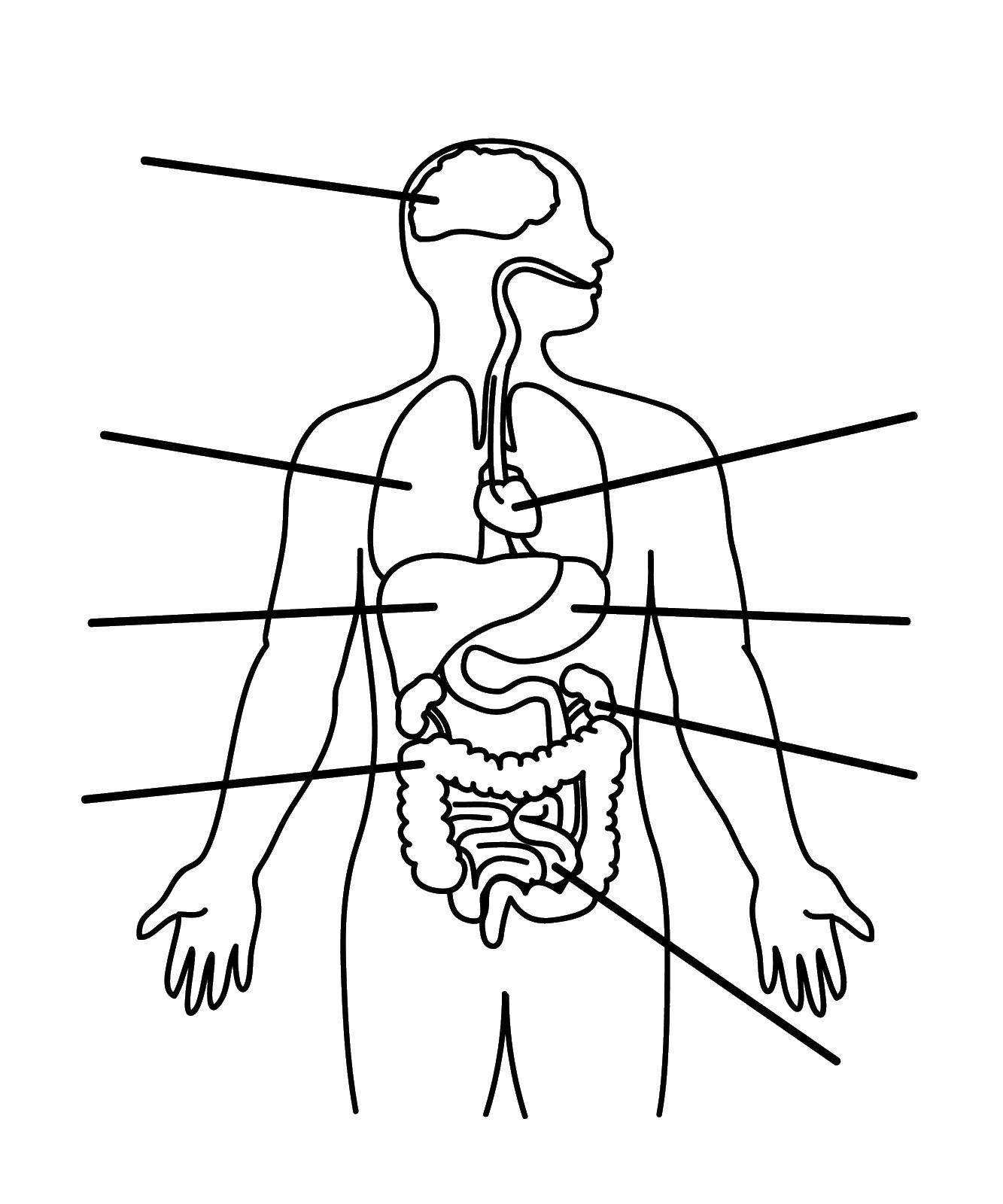 Раскраска Органы человека Скачать человек.  Распечатать ,Люди,