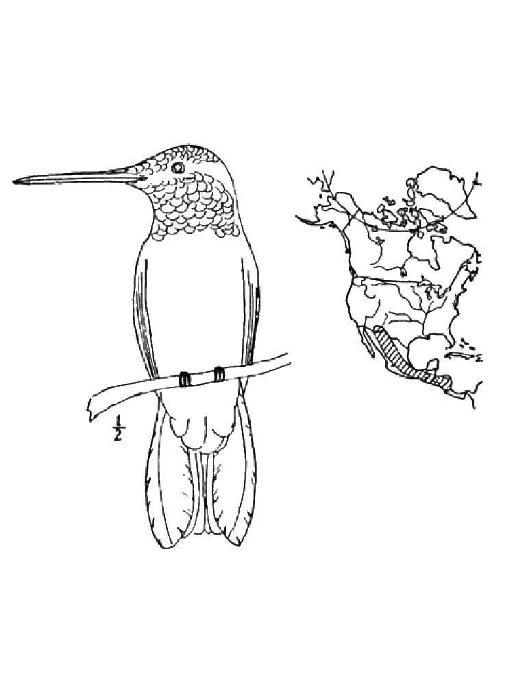 Раскраска колибри Скачать Шрек, фея, Фиона, осел.  Распечатать ,Шрек,