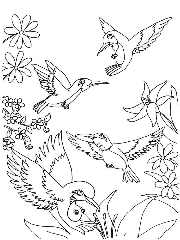 раскраски колибри раскраска множество колибри колибри