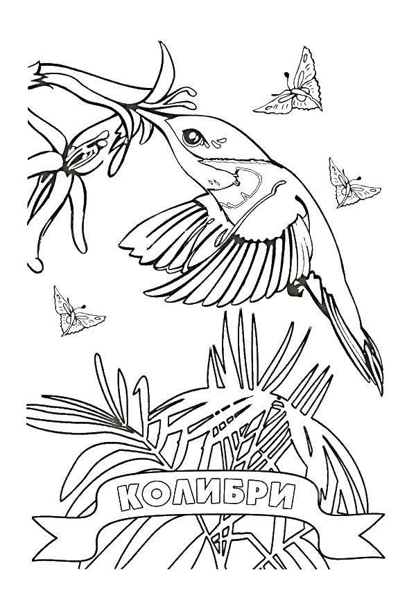 Раскраска колибри Скачать первое сентября.  Распечатать ,первое сентября,
