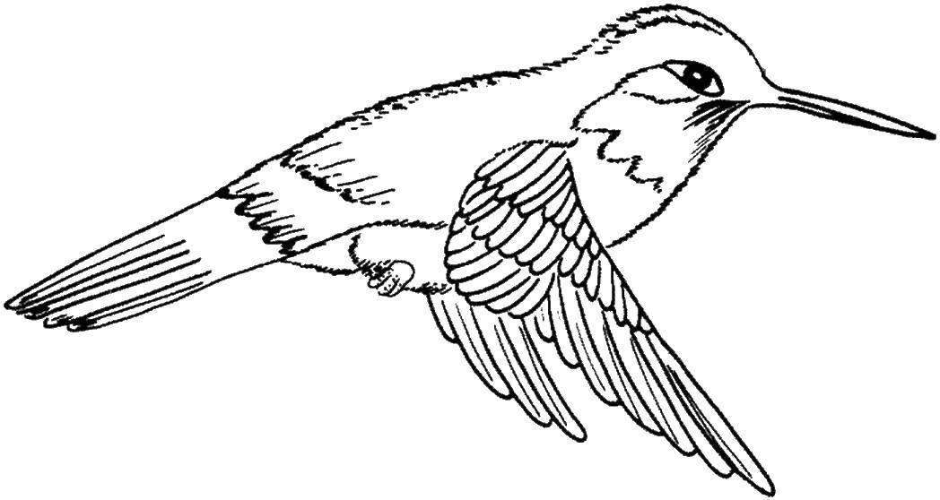 Раскраска колибри Скачать ,птицы, колибри,.  Распечатать