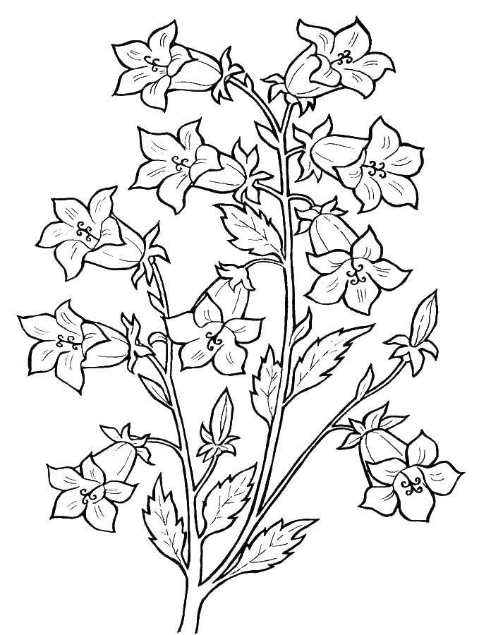 Раскраска Цветок колокольчик Скачать растения, цветы, колокольчик.  Распечатать ,колокольчик,