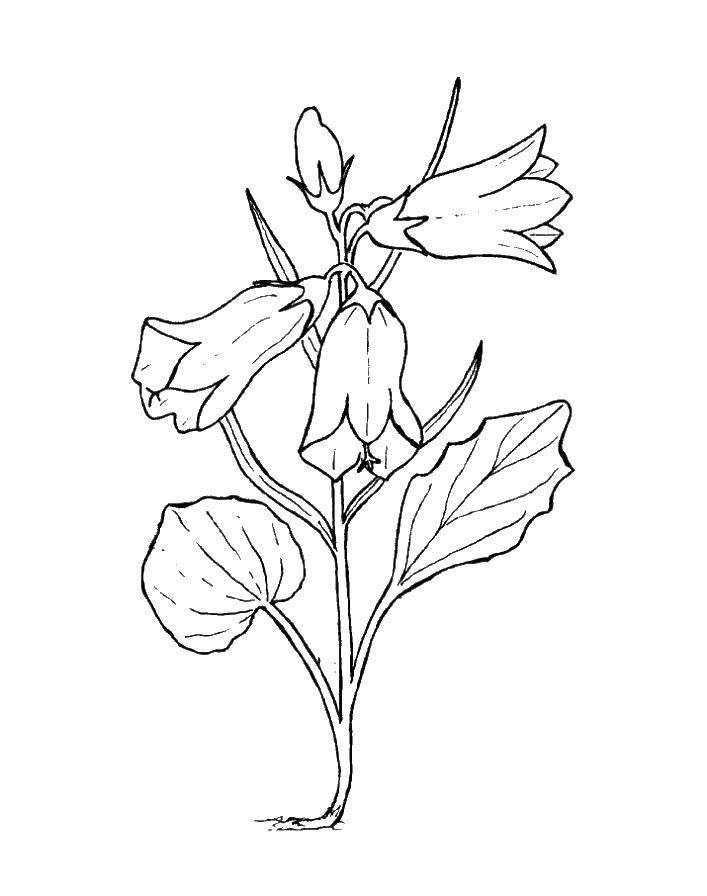 Раскраска колокольчик Скачать ,растения, цветы, колокольчик,.  Распечатать