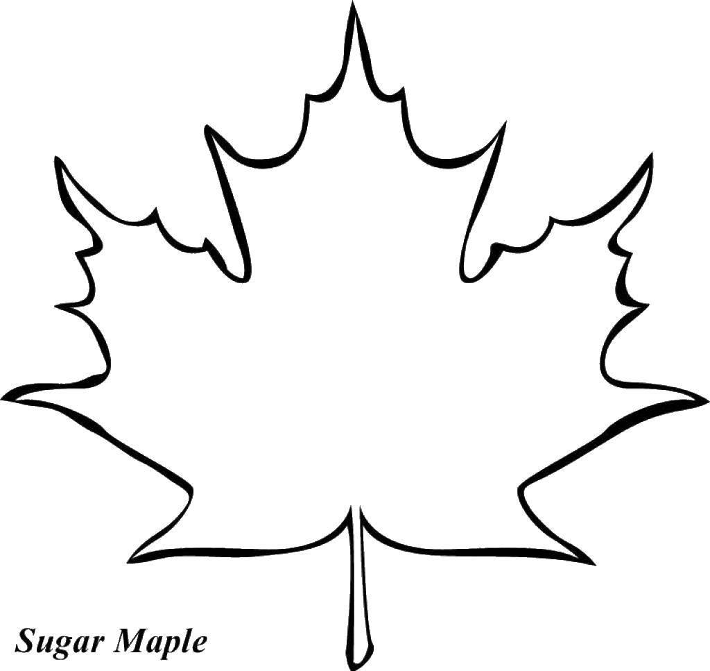 Раскраска Кленовый лист Скачать кленовый лист, контур.  Распечатать ,Контуры листьев деревьев,