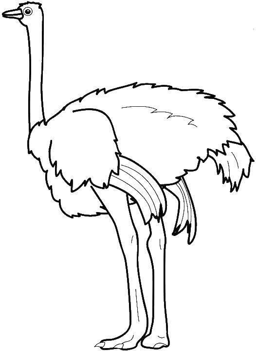 Раскраска страус Скачать ,карта, компас, пираты,.  Распечатать