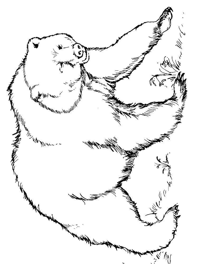 Название: Раскраска Грозный медведь.. Категория: Животные. Теги: Животные, медведь.