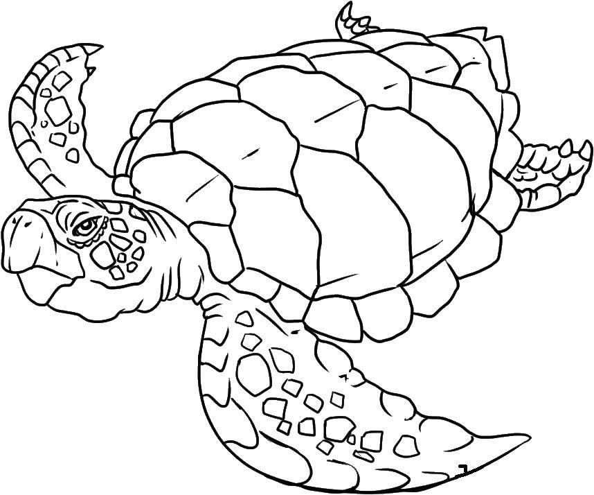 Раскраска Старая черепаха.. Скачать Рептилия, черепаха.  Распечатать ,рептилии,