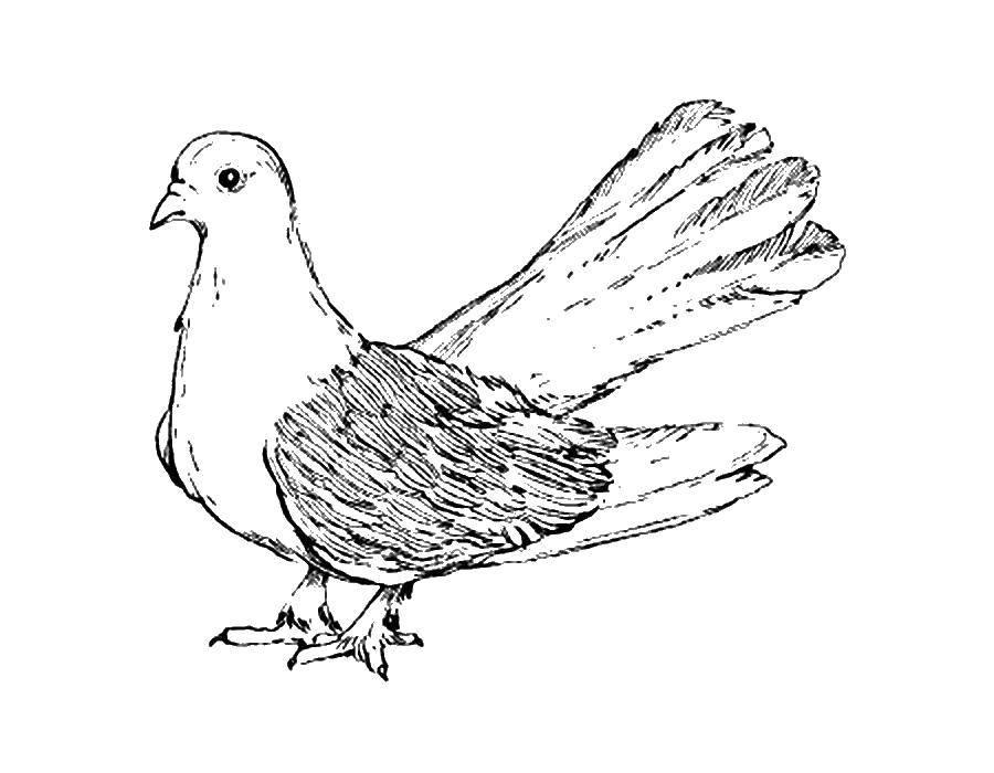 Раскраска Голубь с пышным хвостом Скачать Птицы, голубь.  Распечатать ,голубь мира,