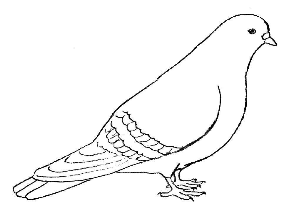 Раскраска голубь мира Скачать ,Птицы,.  Распечатать