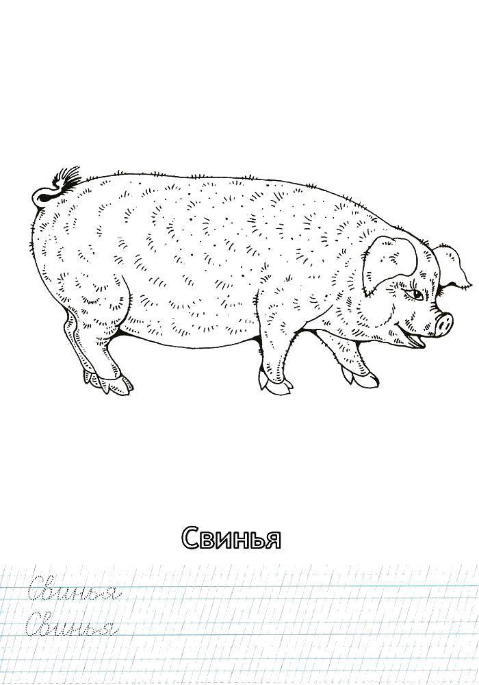 Раскраска Пропись свинка Скачать ,Пропись, буквы,.  Распечатать