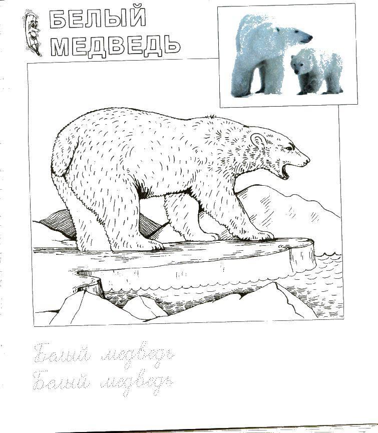 раскраски медведь раскраска белый медведь зоопарк