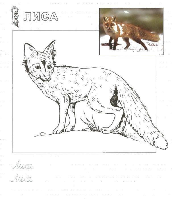 Раскраска Лиса с длинным хвостом. Скачать лиса, животное.  Распечатать ,дикие животные,