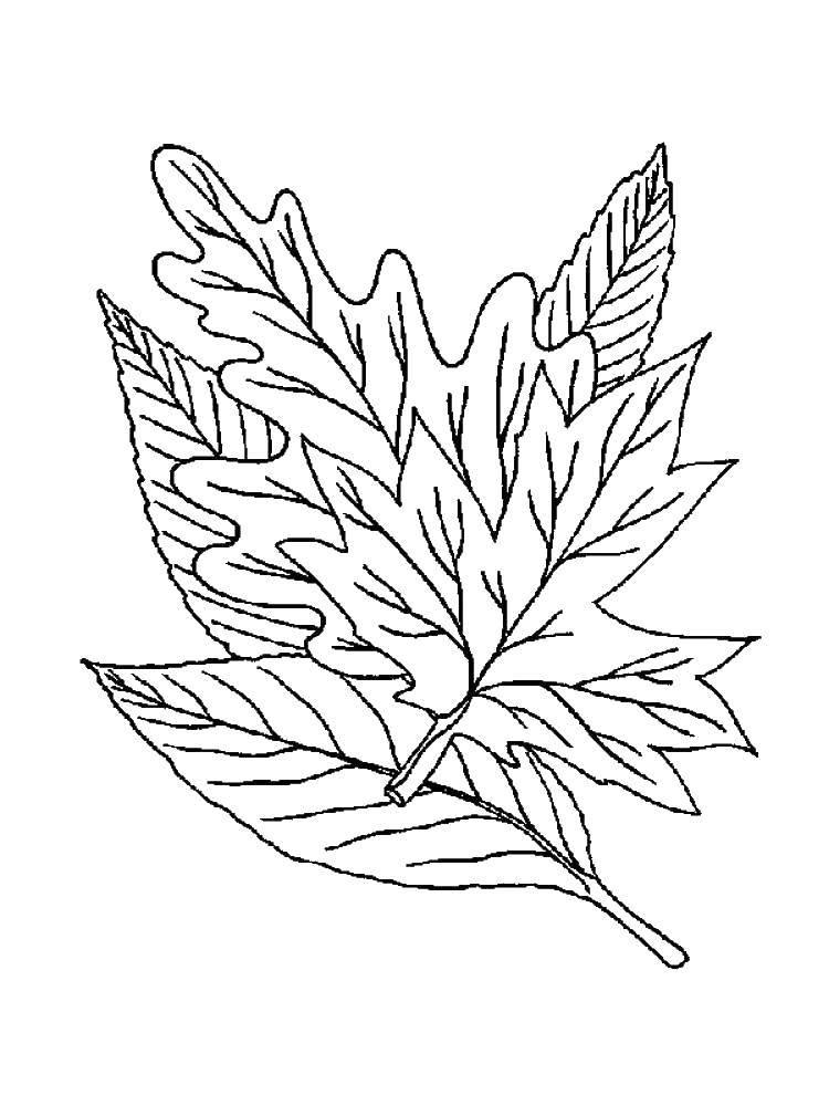 Раскраска листья Скачать .  Распечатать
