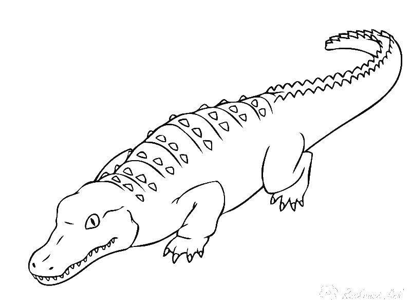 Раскраска Крокодил Скачать ,крокодил, хвост, клыки,.  Распечатать