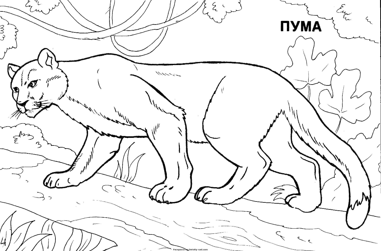Раскраска Пума на бревне Скачать пума, кошка, бревно.  Распечатать ,дикие животные,