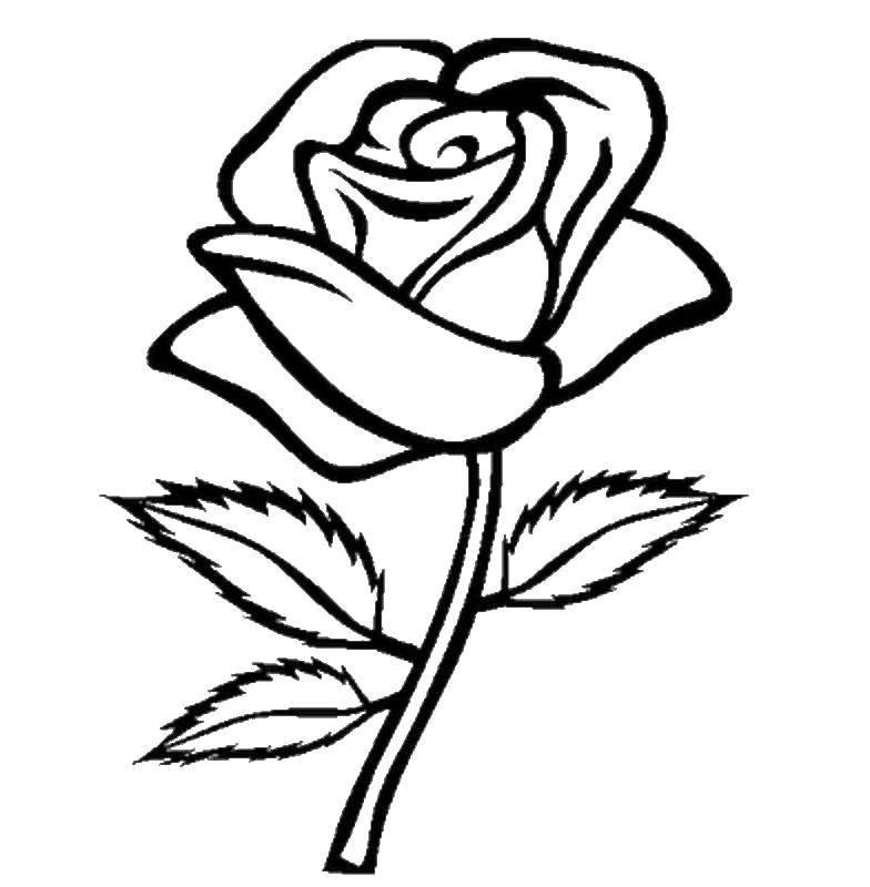 Раскраска Красивая роза Скачать роза, цветы.  Распечатать ,Контуры розы,