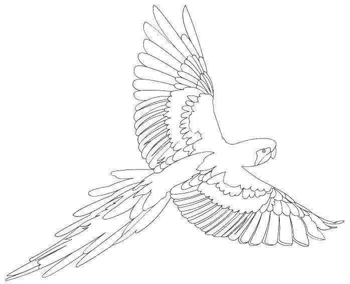 Раскраска раскраски попугай Скачать ,попугай, птица, крылья,.  Распечатать