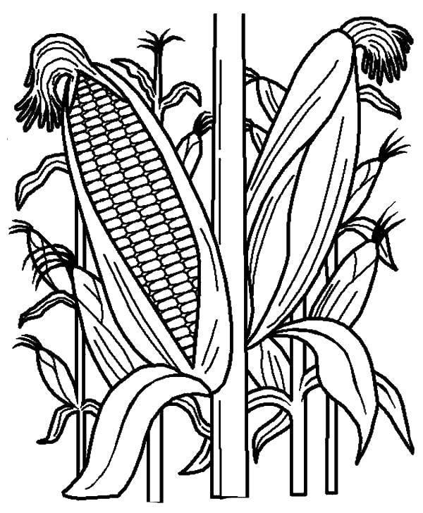 Раскраска Кукуруза является самым важным зерном после пшеницы и риса. Скачать кукуруза.  Распечатать ,Кукуруза,