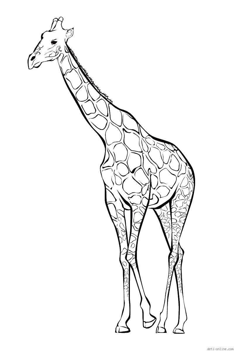 Раскраска Длинный жираф Скачать животные, жираф.  Распечатать ,жираф,
