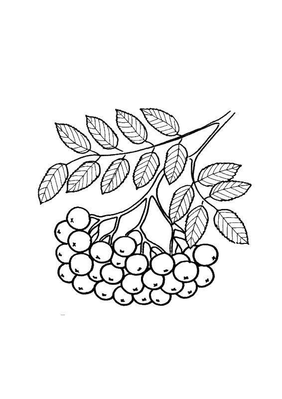 Раскраска Ягоды рябины Скачать листья, рябины.  Распечатать ,листья рябины,