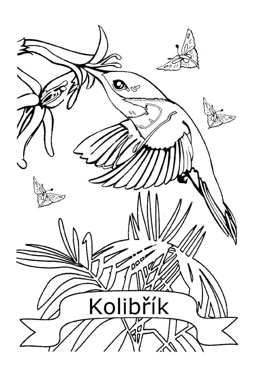 раскраски колибри раскраска колибри и цветы колибри