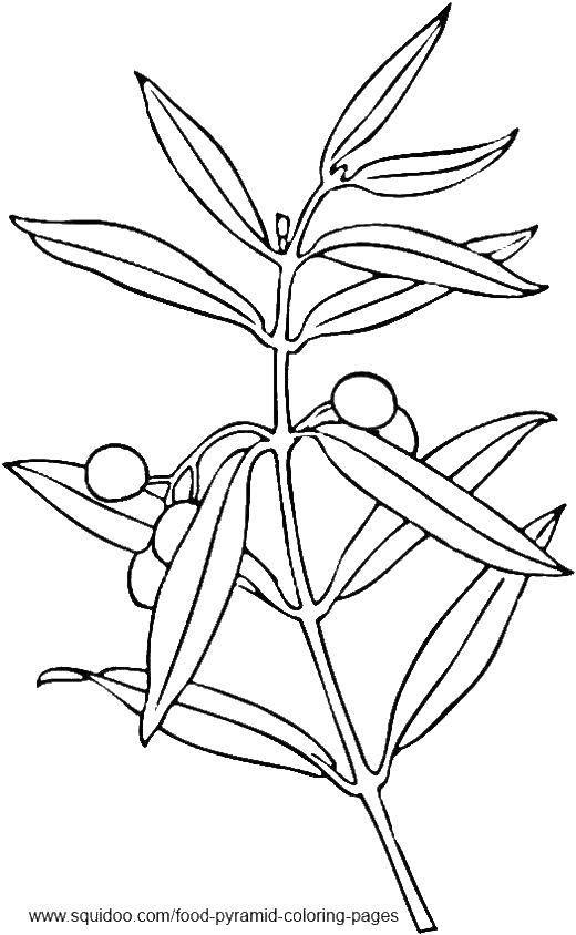 Раскраска Растение Скачать ,растения, оливки,.  Распечатать
