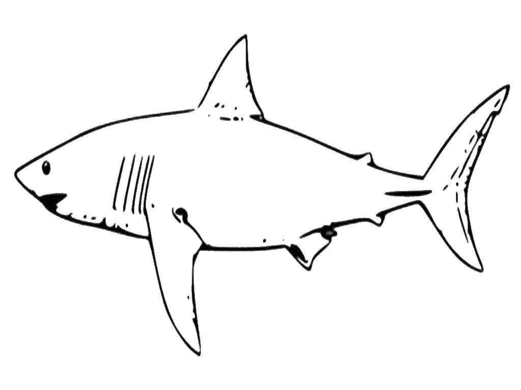 доставайте белая акула картинки для раскрашивания исследования потомки
