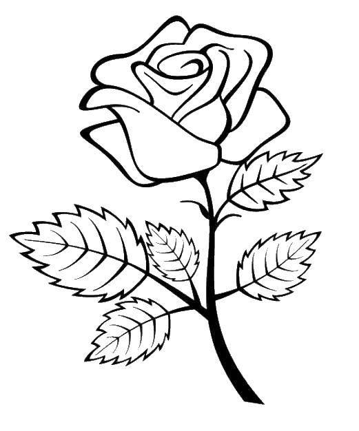 Раскраска Роза Скачать ,розы,.  Распечатать