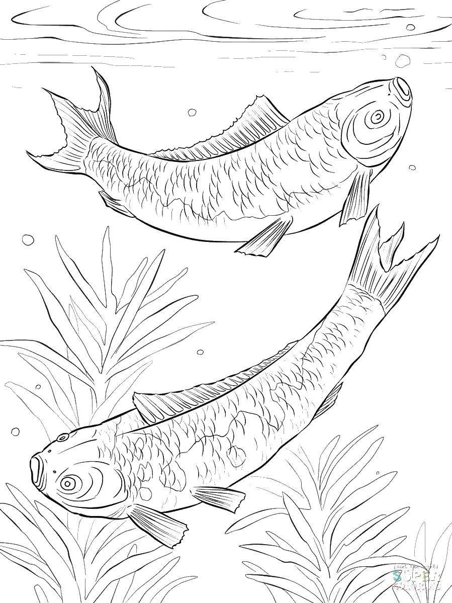 рыба карп картинка раскраска лохнесском