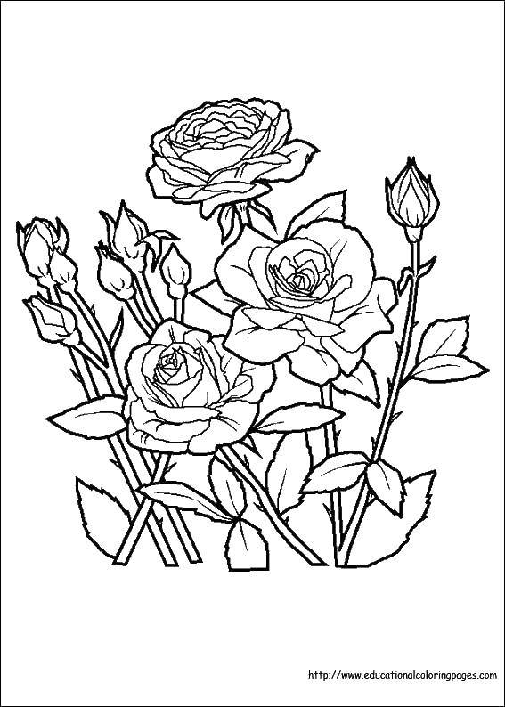 Coloring Bed of roses. Category Flowers. Tags:  flowers, roses, plants.