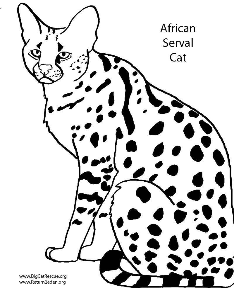 владельцев, бенгальский кот картинки раскраски выбираем для
