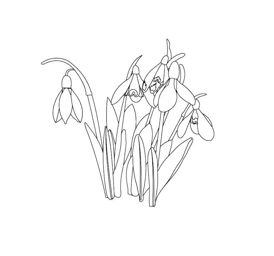 Coloring The snowdrops. Download ,snowdrops, flowers.  Print