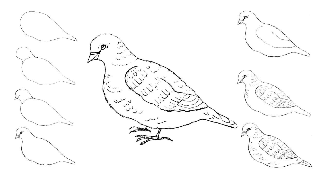 Coloring How to draw a bird. Category how to draw by stages in pencil. Tags:  how to draw animals, birds.