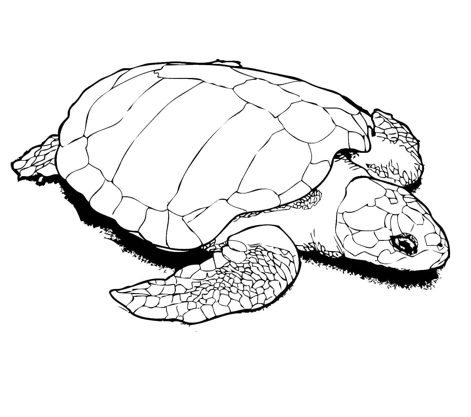 Coloring The wise turtle. Category marine. Tags:  Underwater world, turtle.