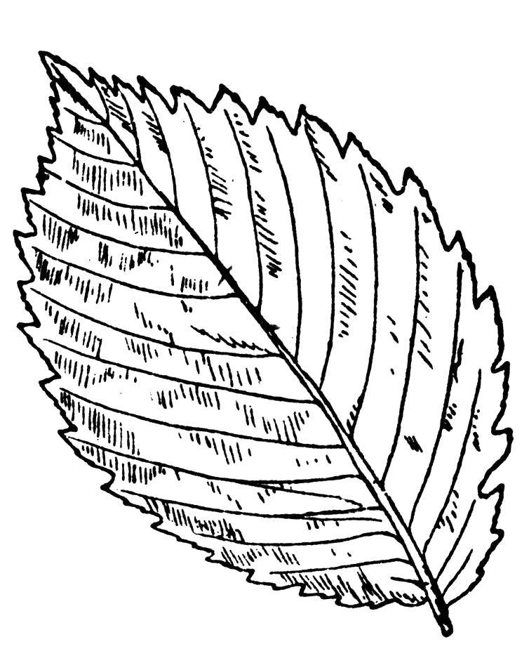 Раскраски листьев разных деревьев распечатать
