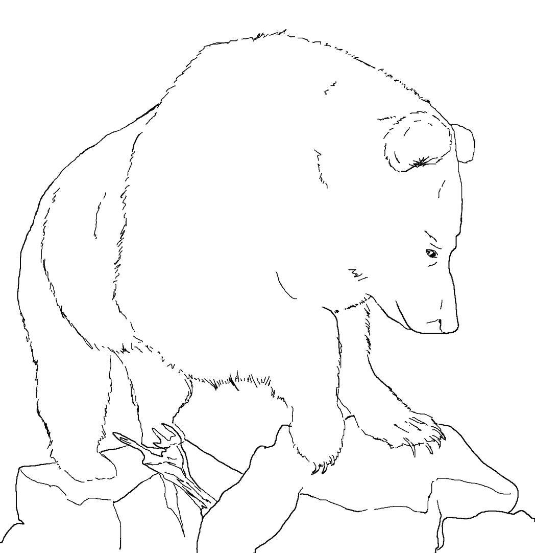 Coloring Bear forest. Category wild animals. Tags:  Animals, bear.