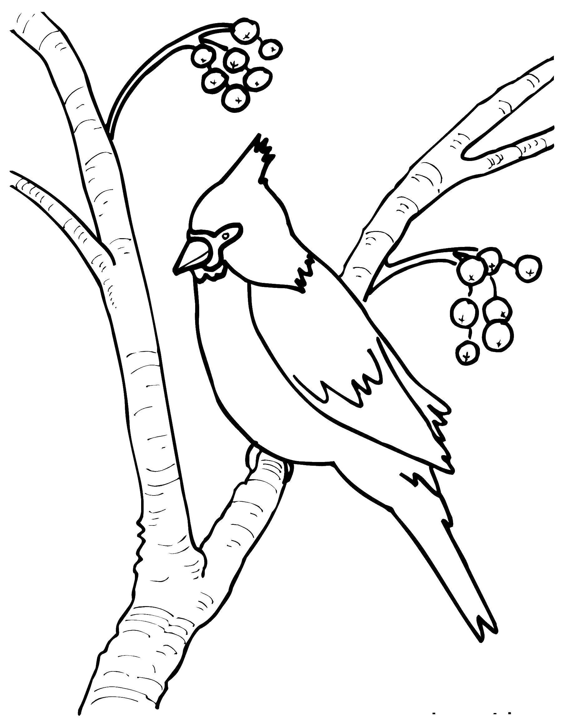 капусты свиристель картинка черно-белая грамотное