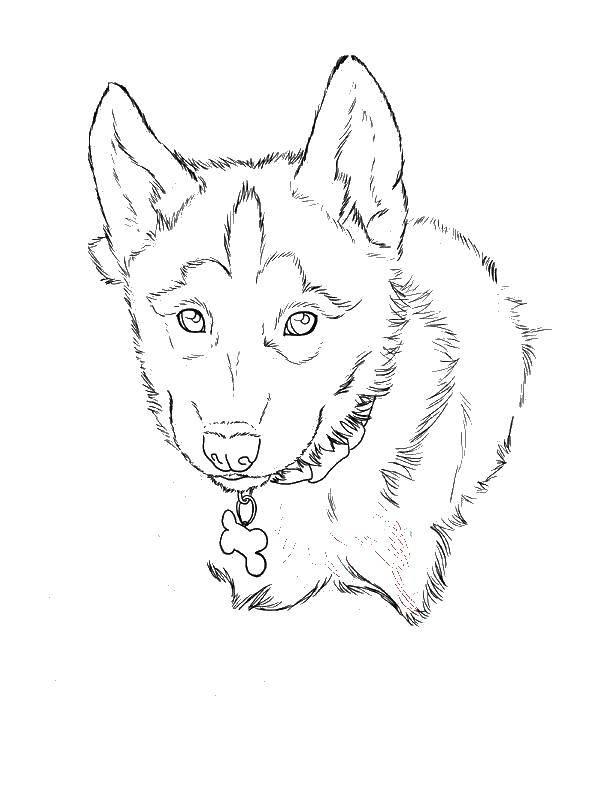 Раскраски собаки, Раскраска Собаки хаски собаки хаски.