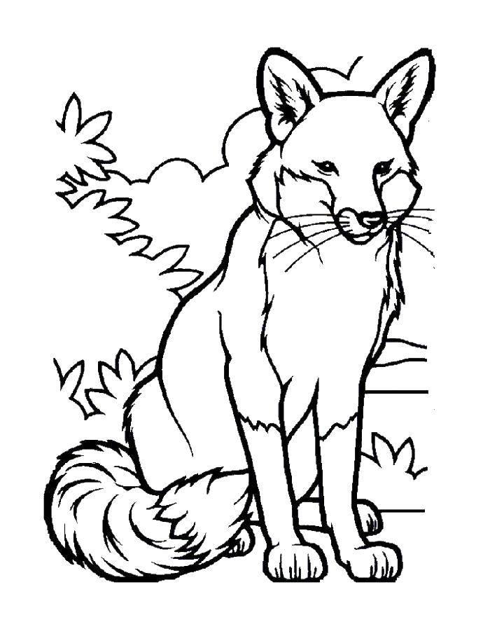 Coloring sheet Fox Download .  Print