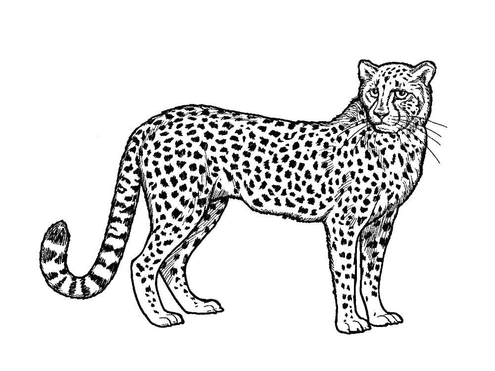 Coloring sheet leopard Download .  Print