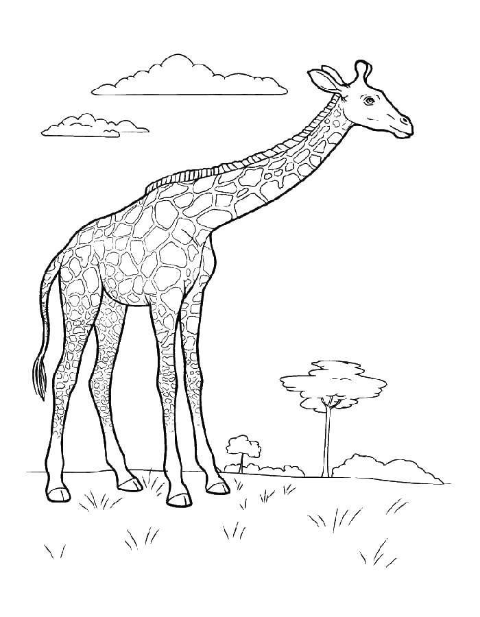 Coloring sheet giraffe Download draw.  Print ,mom ,