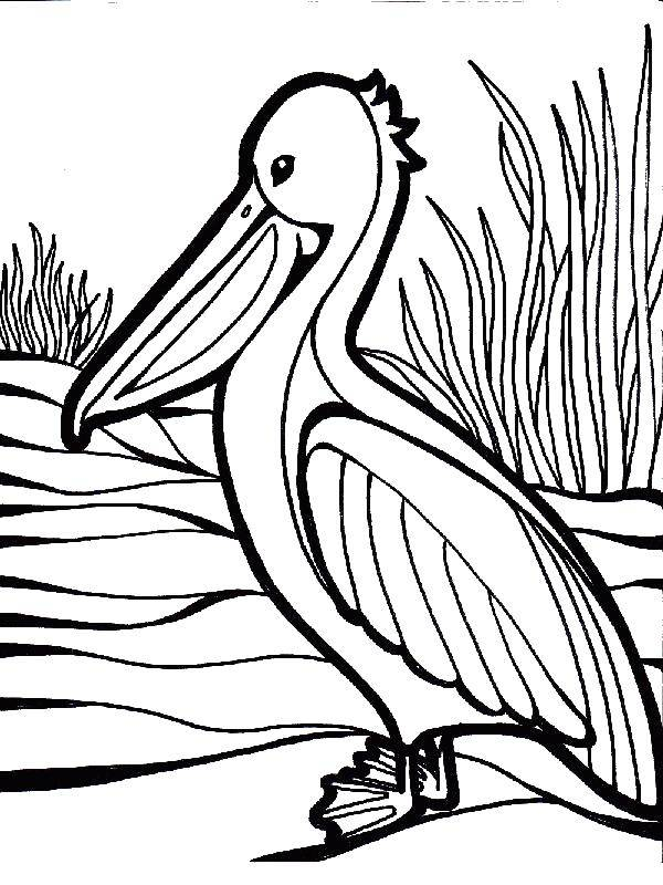 Pelican coloring page - Pelican free printable coloring pages animals | 800x600