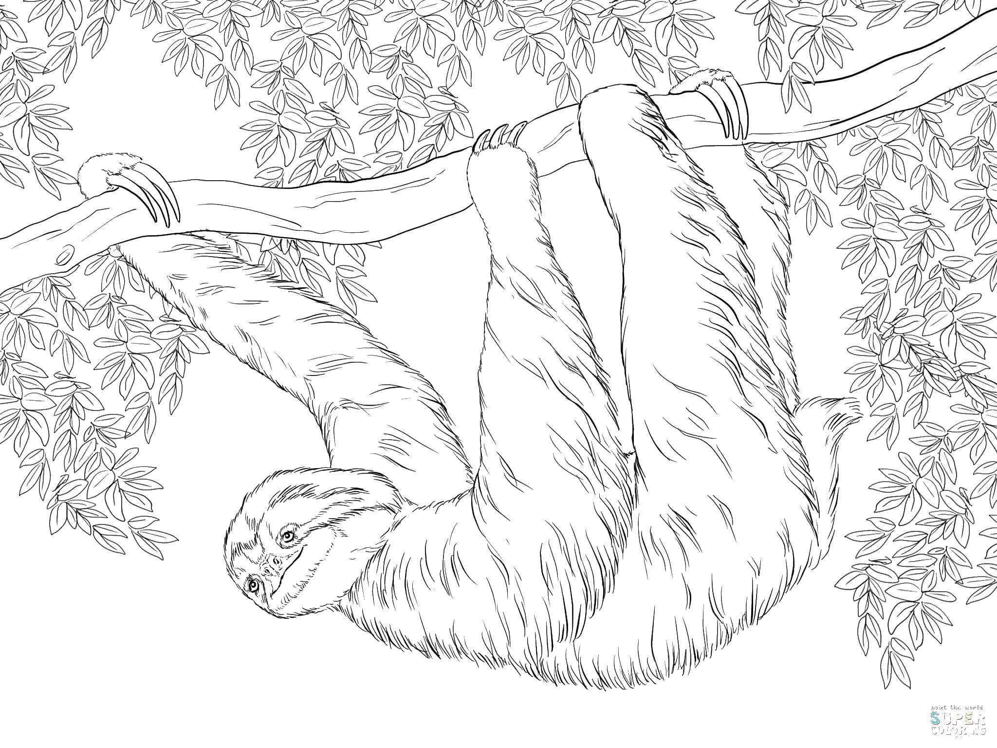 Coloring sheet Sloth Download .  Print