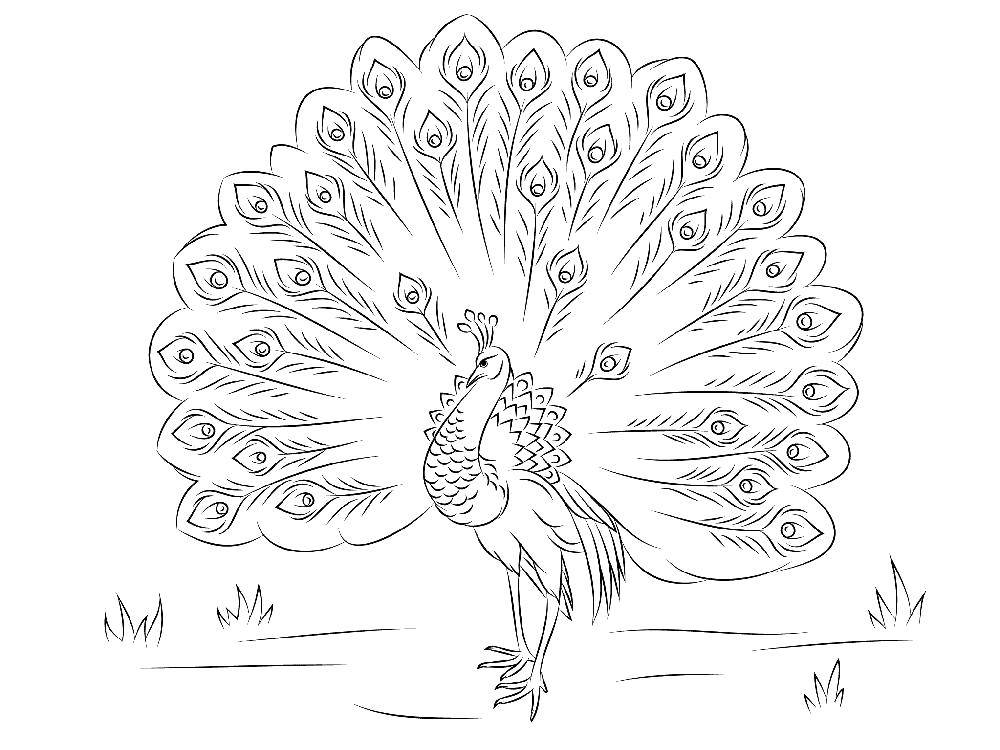 Coloring sheet peacock Download Leila, Winx,.  Print