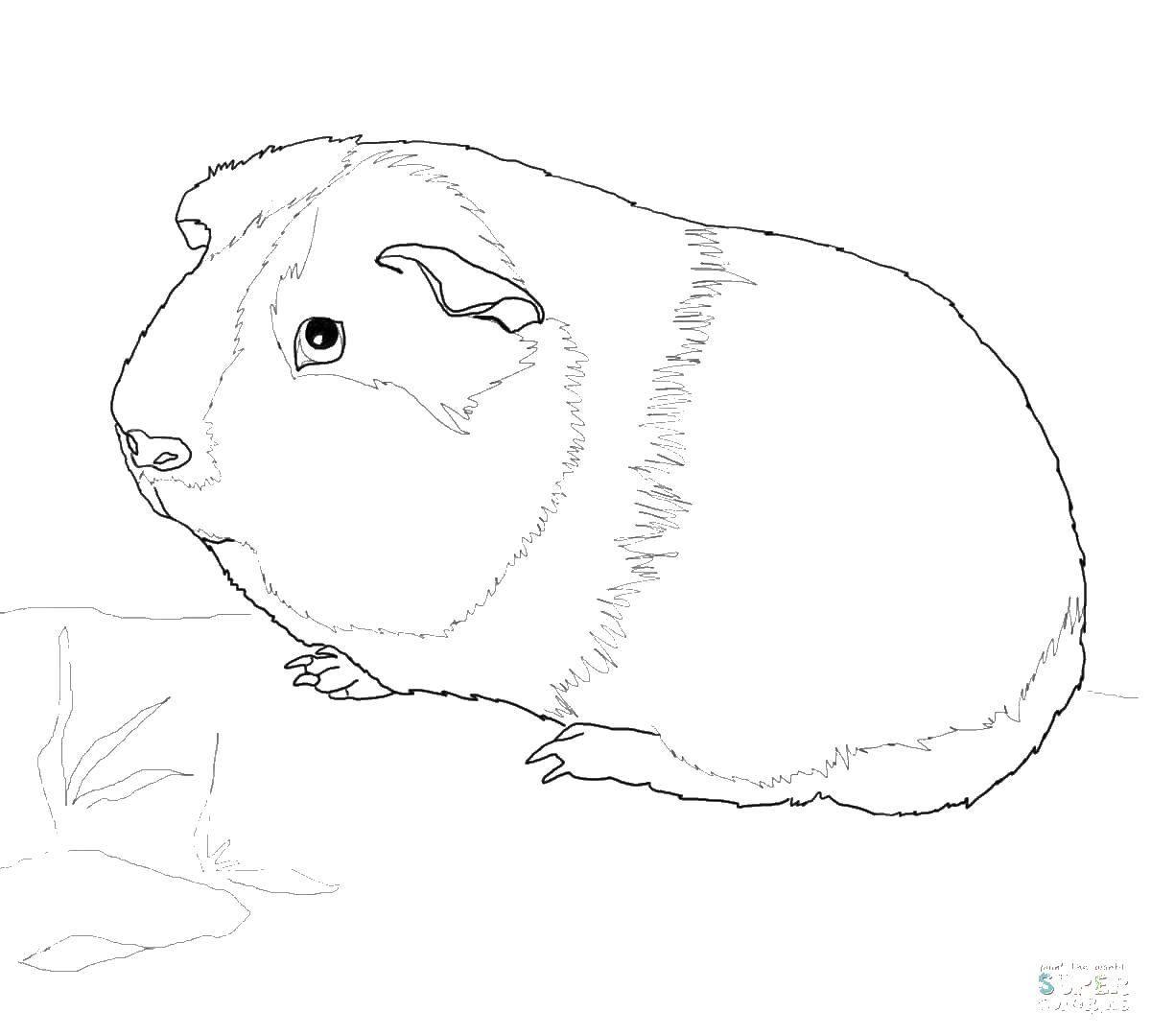 Морская свинка картинки рисунки