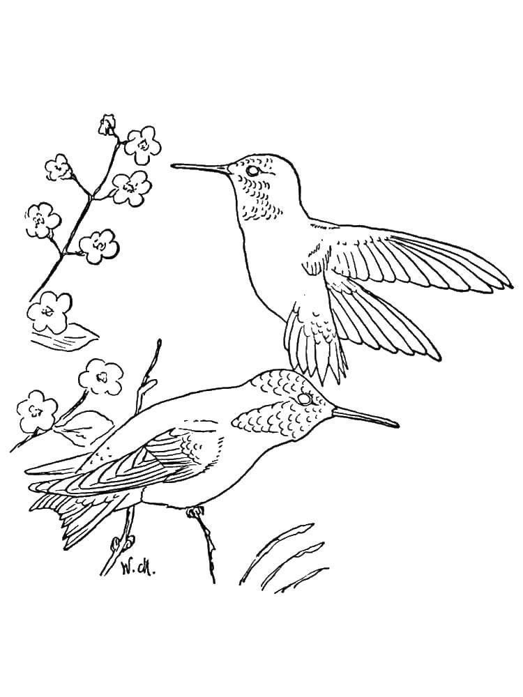 Coloring sheet Hummingbird Download Gunship.  Print